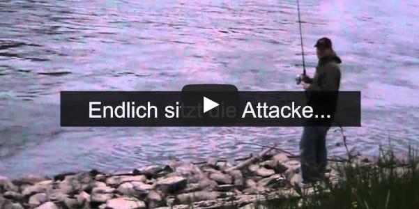 Rapfen Jagd im Winter- Frühjahr am Rhein