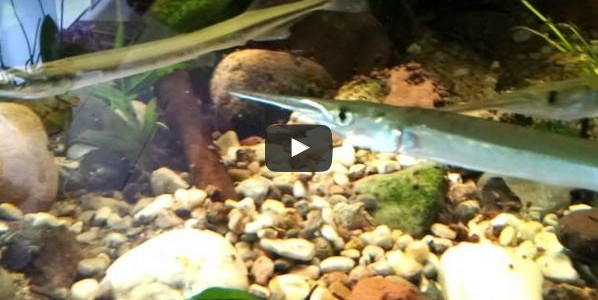 Süßwasser Hornhecht im Aquarium